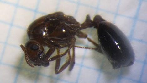 ヒアリの女王アリの特徴や寿命は?恐るべき繁殖能力に注意!