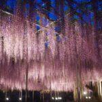 あしかがフラワーパークのイルミネーション2018-2019!期間や見どころを紹介!