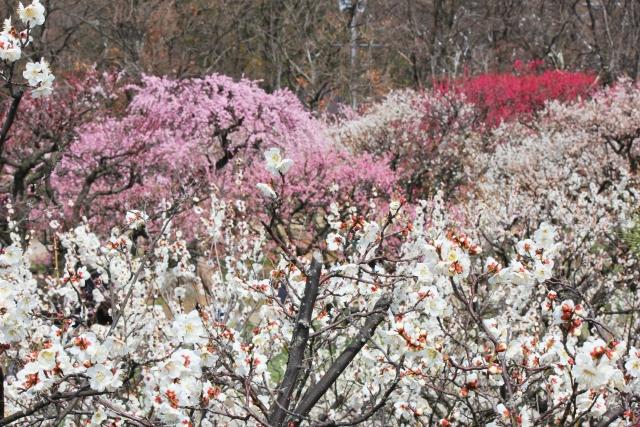 秋間梅林祭 の開花情報や駐車場は?モデル撮影 …