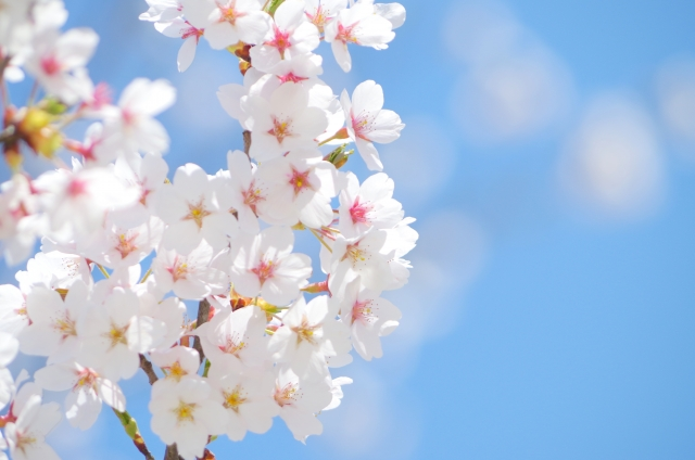 万博記念公園の花見2018!見ごろ・開花はいつ?人気の桜まつり情報も紹介!