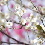 榛名梅林の梅まつり2018の開花情報や駐車場は?イベント内容も紹介!