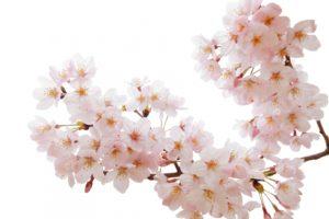 日岡山公園の花見2018!見ごろ・開花はいつ?周辺おすすめB級グルメも紹介