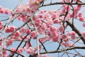 2018年関東のおすすめ梅まつりスポット10選!開花予想とおすすめポイントを紹介!