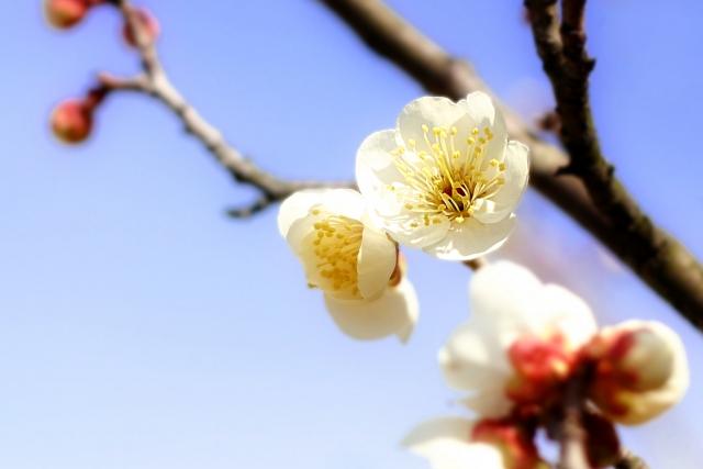 箕郷梅林の梅まつり2018の開花予想や駐車場は?おすすめ高崎パスタも紹介!