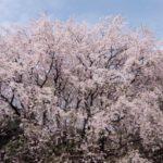 六義園のお花見2018のアクセスや混雑予想は?周辺ランチスポットも紹介!