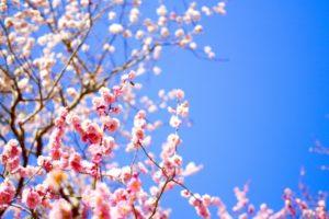 高尾梅郷の梅まつり2018の開花予想や駐車場は?おすすめランチスポットも紹介!