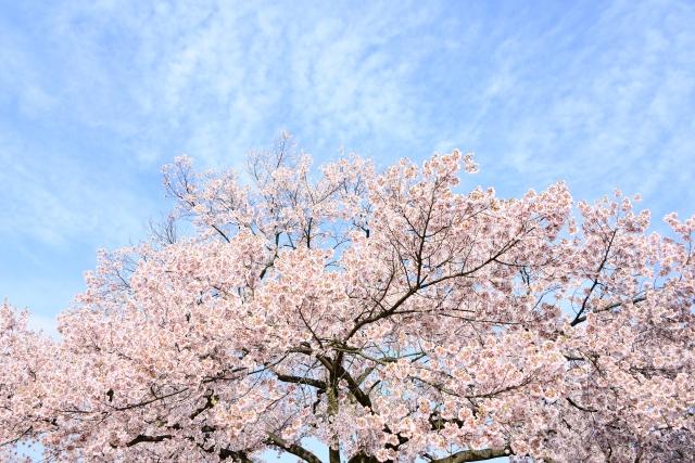 うぐい川の桜2018の見ごろ・開花はいつ?周辺おすすめスポットもご紹介!