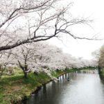 福岡堰桜まつり2018の日程やイベント内容は?駐車場情報も紹介!