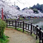 八鶴湖の桜まつり2018!日程や見ごろはいつ?花火イベントも必見!
