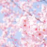 日立桜祭り2018の見頃やライトアップ情報は?臨時駐車場も紹介!
