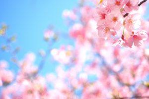 家地川公園のお花見2018!見ごろ・開花はいつ?おすすめ食事処も紹介!
