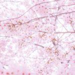 鏡野公園の桜2018!お花見の見ごろ・開花はいつ?香美市おすすめスポットも紹介!