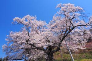 吉良のエドヒガン桜の花見2018!見ごろ・開花はいつ?周辺のおすすめ道の駅も紹介!