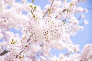 鳥取城跡・久松公園の桜2018!お花見の見ごろ・開花はいつ?周辺駐車場情報も紹介!