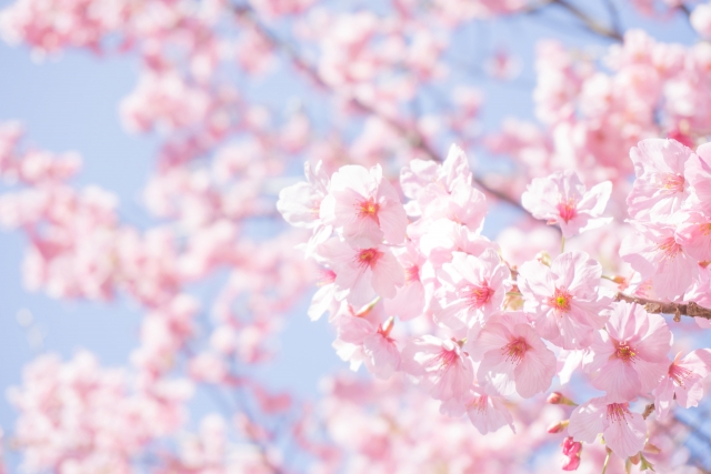 さがみ湖リゾートの桜まつり2018の日程やライトアップ、見どころを紹介!