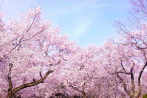 積善山三千本桜のお花見2018!見ごろ・開花はいつ?岩城島のおすすめ食事処も紹介!