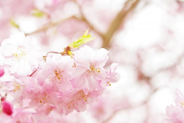 伊香保グリーン牧場の桜2018!見ごろ・開花はいつ?桜まつりイベントも紹介!