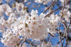 黒磯公園の桜まつり2018!開花や見どころは?噂のタイラーメンも紹介!