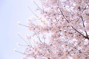 前橋公園の桜2018!見ごろやライトアップはいつ?周辺駐車場も紹介!