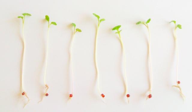スーパースプラウトの効果とは?食べ方次第で1か月で-2キロも可能!?