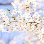 高崎観音山のお花見2018!桜まつりのイベント内容や見ごろを紹介!