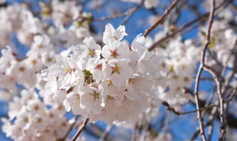 天平の丘公園の桜2018!見ごろやアクセスは?花祭りのイベント内容も紹介!