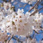 明石公園(愛知県碧南市)の桜2018!開花・ライトアップはいつ?