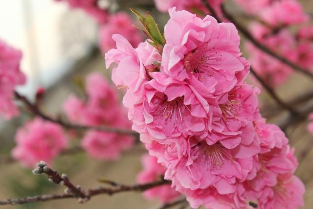 えぼし公園(大分県)の桜2018!見ごろ・開花はいつ?周辺おすすめ観光スポットも紹介!