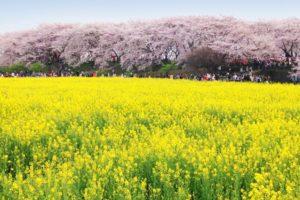権現堂公園の桜2018!開花・桜まつりはいつ?幸手市のおすすめカフェも紹介!