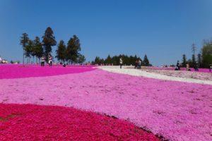 羊山公園の芝桜2018!見頃や駐車場は?芝桜まつりのイベント内容も紹介!