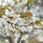 堀切峠(宮崎県)の桜2018!見ごろ・開花はいつ?地元グルメが味わえるおすすめスポットも紹介!