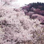 菊池公園の桜2018!見ごろ・開花はいつ?お子様連れにおすすめのグルメスポットも紹介!