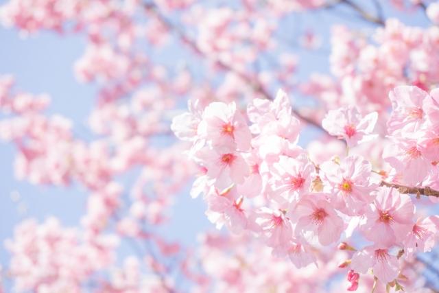 木曽川堤の桜2018!見頃・開花はいつ?一宮市のおすすめランチスポットも紹介!