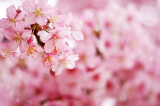 岡崎公園の桜2018!見頃・開花はいつ?駐車場情報も紹介!