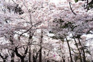 大宮公園の桜2018!桜まつり・ライトアップはいつ?園内おすすめスポットも紹介!