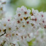 忠元公園の桜2018!見ごろ・開花はいつ?おすすめグルメスポットも紹介!