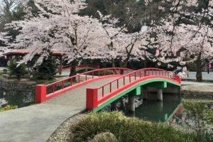若泉公園のお花見2018!桜祭り・ライトアップはいつ?周辺桜スポットも紹介!