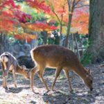 奈良公園の紅葉2018の見ごろ・時期はいつ?周辺のおすすめ観光名所も紹介!
